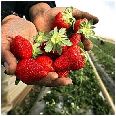 ASD Strawberries Our Farms
